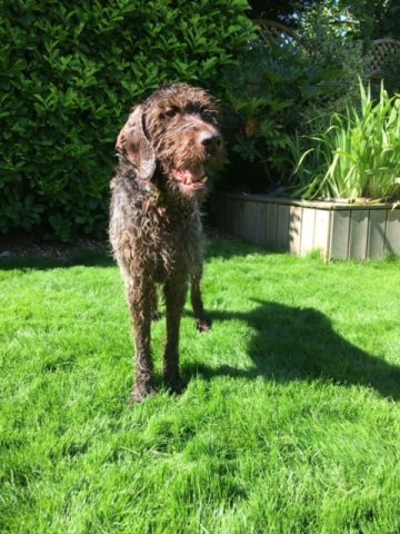 Hector the Wirehaired German Pointer