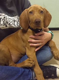 Young Blue the beautiful Wirehaired Hungarian Vizsla who is on our present puppy foundation course