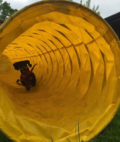 We introduce puppy's to lots of different positive experiences such as the tunnel to prepare them for all that life will throw at them