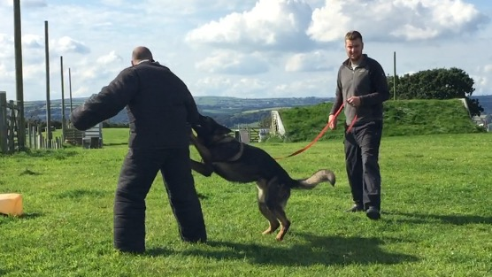 David in a bite suit learning the art of protection training, not something we offer at Homeward Hounds but these guys are the best in the business