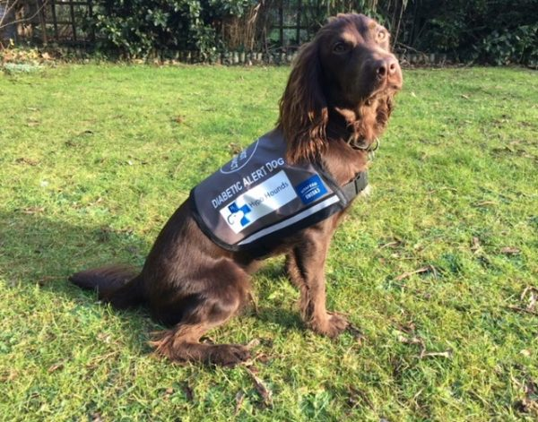 Coco becomes a fully accredited diabetic dog a day after passing her Kennel Club Good Citizen Gold Award