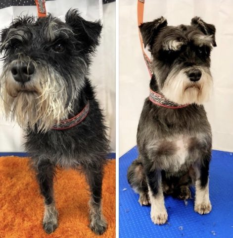 Beautiful Otto the Miniature Schnauzer before and after his full groom